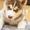Перспективный щенок Сибирской Хаски #1060308