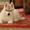 Продаются щенки сибирских хаски #1201781