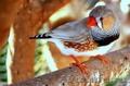 амадины зебровые- комнатные птицы