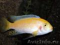 продам аквариумных рыбок: сомики,  цихлиды