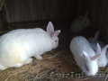 Продаю племеных кроликов
