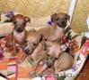 Левретка - 3 щенка изабеллового окраса