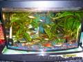 Аквариумные рыбки гуппи с яркими оранжевыми хвостами!