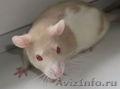 Отдам в хорошие руки очаровательных крысят