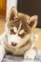 Перспективный щенок Сибирской Хаски
