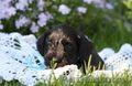 Цвергшнауцер  щенки - Изображение #3, Объявление #1086509