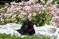 Цвергшнауцер  щенки - Изображение #2, Объявление #1086509