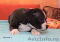 Продаются щенки стаффордширского бультерьера - Изображение #3, Объявление #1136591