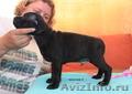 Продаются щенки стаффордширского бультерьера - Изображение #6, Объявление #1136591