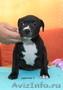Продаются щенки стаффордширского бультерьера - Изображение #7, Объявление #1136591