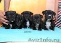 Продаются щенки стаффордширского бультерьера - Изображение #2, Объявление #1136591
